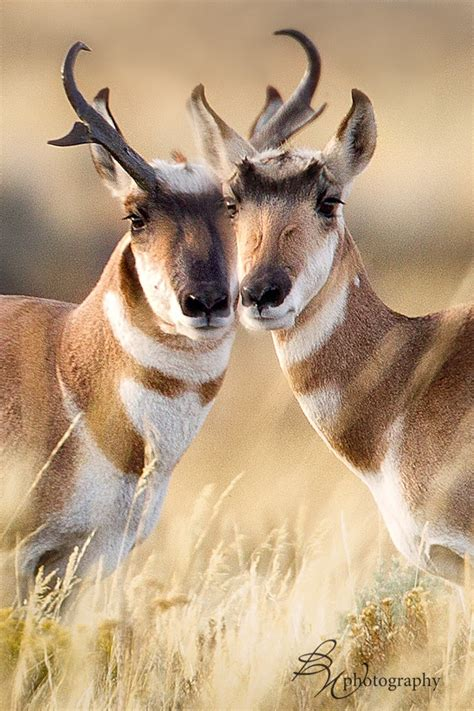 pronghorn sheds pin by e conrad on animals