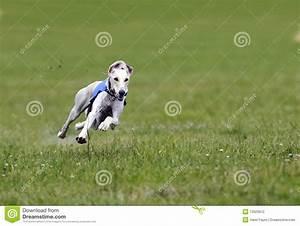 Greyhound At Full Speed Stock Photography - Image: 12029912