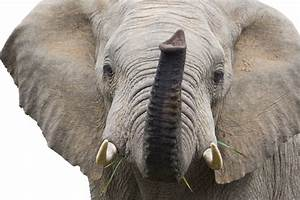 UK auction house faces illegal ivory charge