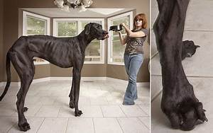 handsomedogs - Sorry Giant George! A Great Dane called ...