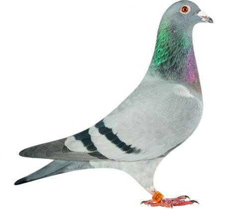 pigeons hok jos vercammen