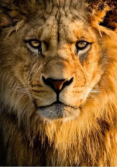 Lion Wallpapers Animals Unsplash Hq