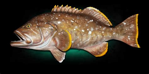 grouper yellow edge fish taxidermy yellowedge mount replicas mounts marinecreations homestead