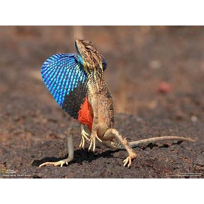Reptile Facts - The Fan-throated lizard (Sitana