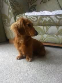 Long Haired Miniature Dachshund