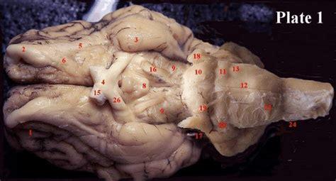 sheep brain anatomy ventral mit hhmi summer workshop for teachers licensed for non