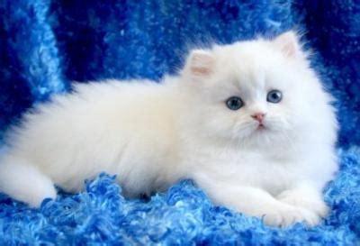 Nomi Femminili Persiani gatto persiano bianco occhi azzurri tutte le