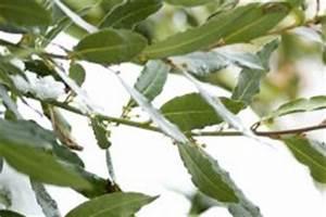Schmucklilie überwintern Gelbe Blätter : lorbeer bekommt braune bl tter woran kann 39 s liegen ~ Eleganceandgraceweddings.com Haus und Dekorationen