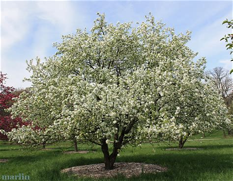 crab trees crabapple tree dolgo crabapple is particularly resistant to apple scab and is grown