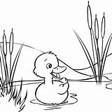 Coloring Duck Adult Ducks Swimming Cartoon Mitraland Swim Adults Printable sketch template