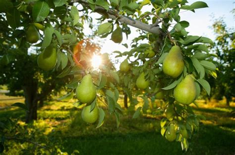 About Ure Pear Trees | Hunker