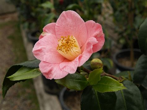 camellia flower care camellia japanese camellia japonica monthly plant care calendar