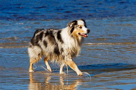 australian shepherd breed description history  overview