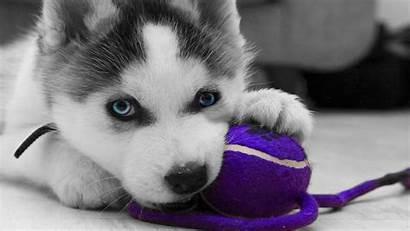 Husky Siberian Wallpapers Puppy Huskies Puppies Wednesday