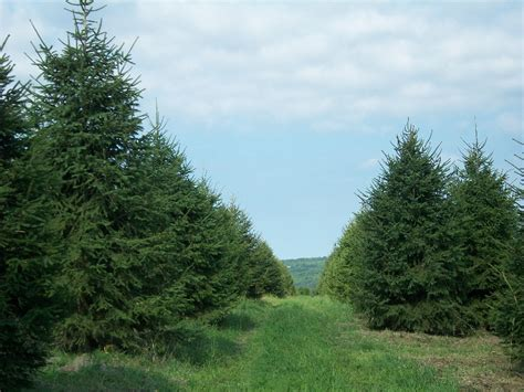 photo gallery yule tree farms