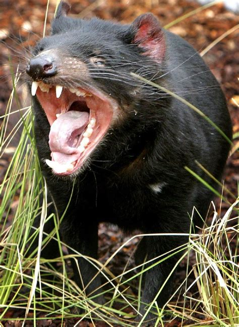 These famously feisty mammals have a coat of coarse brown or black fur and a the tasmanian devil is the world's largest carnivorous marsupial, reaching 30 inches in. Jacksonville to debut Tasmanian Devil mascot