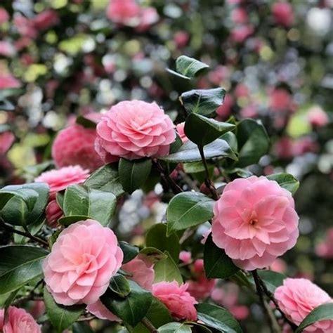 petaled flowers pink focus blumen rosafarbenen selektive fuoco messa selettiva fiori rosa fotografia dei della selective asmr gratuita nowban bild