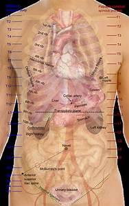 Oberfl U00e4chenprojektionen Der Organe  Anatomie  Rumpf