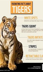 Tiger Facts | Tigers | Lions | Pinterest | Tiger facts ...