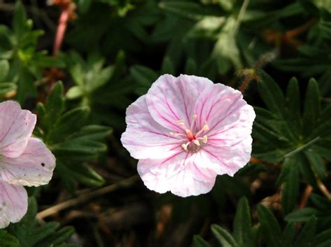 how to grow geranium varieties of true geraniums and tips for growing them