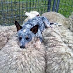 blue heeler puppies puppy dog gallery