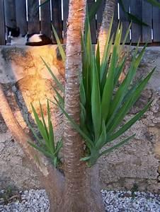 Yucca Palme Garten : yucca palmen vermehren das portugalforum ~ Lizthompson.info Haus und Dekorationen