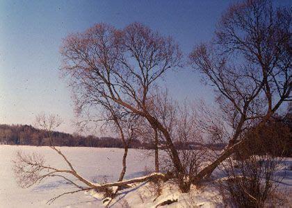 trauslais vītols - Salix fragilis L. - Augi - Latvijas daba