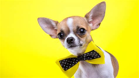 wallpaper chihuahua dog cute animals yellow