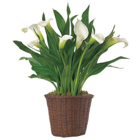 where to plant calla white calla lily plant calla lily bulb arrangement