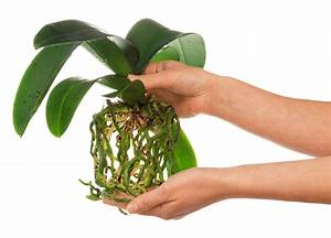 Luftwurzeln Bei Orchideen : fehler bei der orchideenpflege was orchideen nicht gut vertragen ~ Frokenaadalensverden.com Haus und Dekorationen