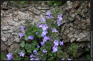 Bodendecker Blaue Blüten : bild gundermann efeugundermann glechoma hederacea foto gundermann glechoma hederacaea ~ Frokenaadalensverden.com Haus und Dekorationen