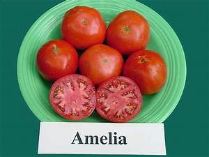 Of Tomato