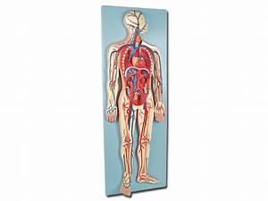 Circulatory System - 2 Parts