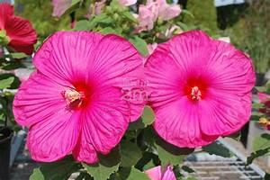 Taille De L Hibiscus : hibiscus moscheutos luna rose ketmie des marais rose ~ Melissatoandfro.com Idées de Décoration