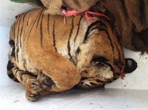 tiger  elephant poachers indias maharashtra state