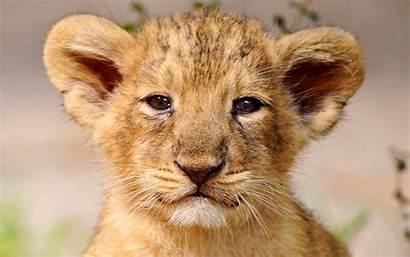 Lion Cub Adorable Cubs Fanpop