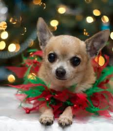 Christmas Chihuahua Dogs Puppy