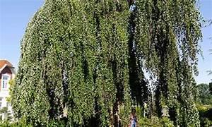 Lorbeer Gelbe Blätter : fragen bilder pflanz und pflegeanleitungen rund um das thema gartenpflanzen seite 2 ~ Markanthonyermac.com Haus und Dekorationen