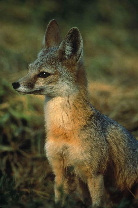picture profile joaquin kit fox vulpes macrotis