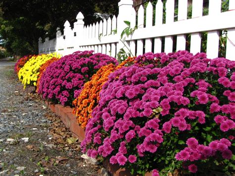 views from the garden 5 uses for garden mums around your