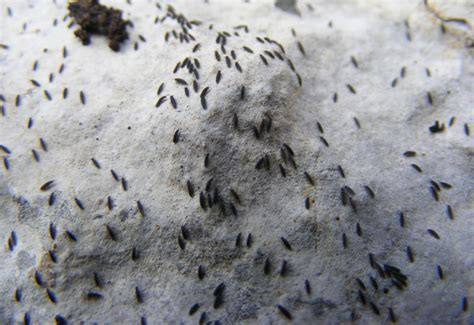 what does bed bugs look like - FAQ: Can Salt Kill Bed Bugs