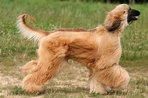 10 Long Haired Dog Breeds   PawCulture