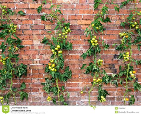 tomato vines growing royalty  stock photography