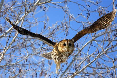 Meža pūce (Strix aluco, tawny owl, Waldkauz, серая неясыть ...