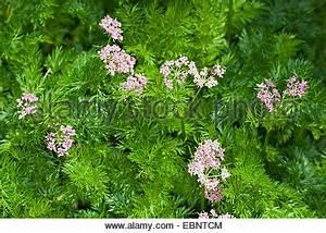 Sellerie Pflanzen Kaufen : sellerie bl tter liebst ckel alpine liebst ckel ~ Michelbontemps.com Haus und Dekorationen