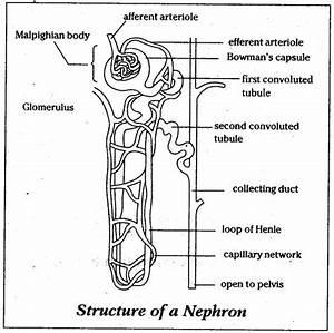 Diagram Of Nephron