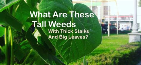 tall weeds  thick stalks  big leaves