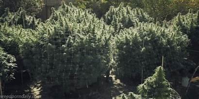 Cannabis Marijuana Weed Pot Outdoor California Growing