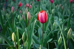 Tulpen Im Garten : tulpen nat rliche sch nheit mit frohsinn gepaart ~ A.2002-acura-tl-radio.info Haus und Dekorationen