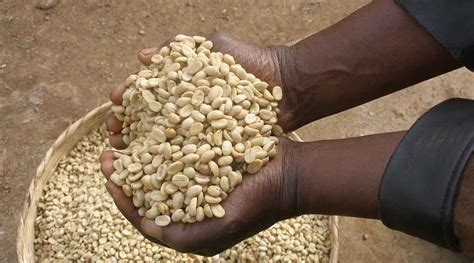 Coffee and coffee grounds as fertilizer. Building the post COVID-19 resilience for Africa's coffee sector | Krishak Jagat